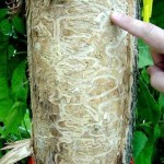 Trace of wood borer