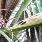 椰心葉甲蟲-2