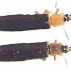 椰心葉甲蟲-1