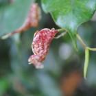 Upward rolling of leaf-2
