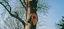 平貼樹身切割