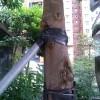 拉纜或支撐物與樹身直接接觸-2