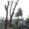 樹木削頂-1