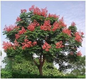 複羽葉欒樹