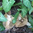 非樹木腐朽真菌