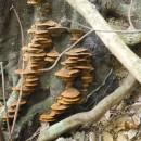 樹木腐朽真菌-3